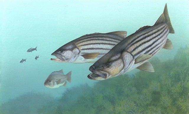 Perch, Stripe Bass, Fish, Morone Saxatilis, Rock Bass