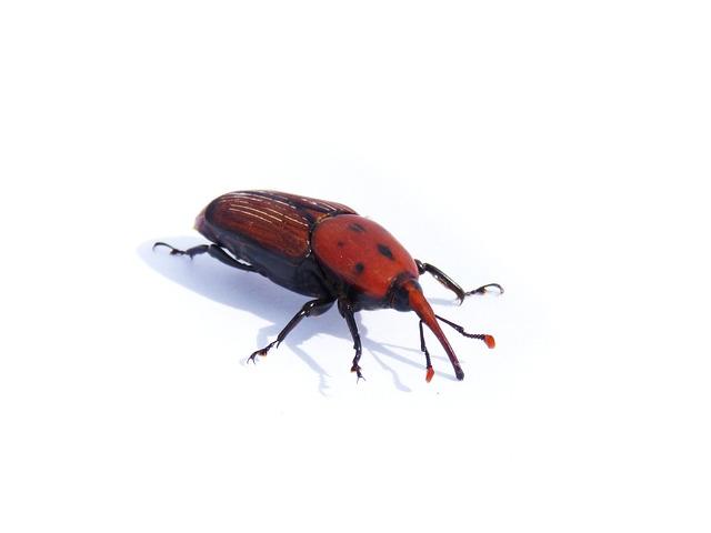 Rhynchophorus Ferrugineus, Weevil, Morrut