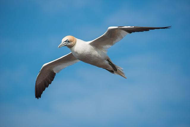 Northern Gannet, Bird, Flight, Fly, Morus Bassanus