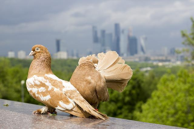Pigeons, Gloomy Sky, Moscow, Moscow City, Skyscrapers