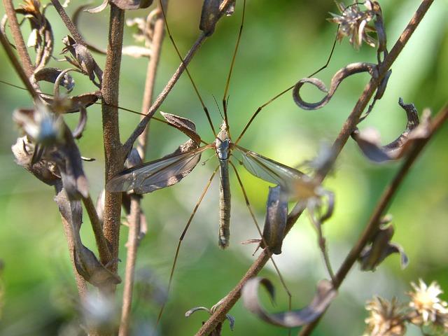 Típula, Mosquito, Wild Flower, Tipúlidos