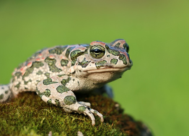 Frog, Toad, Moss, Camo, Tsarevna, Croak, Amphibian