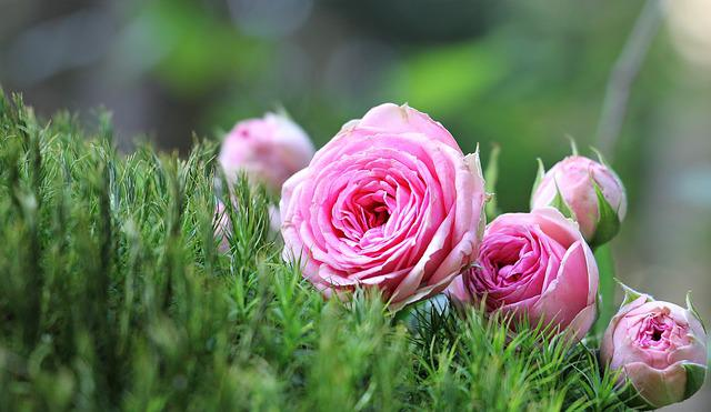 Rose, Bush Röschen, Pink, Moss, Flowers, Nature, Green