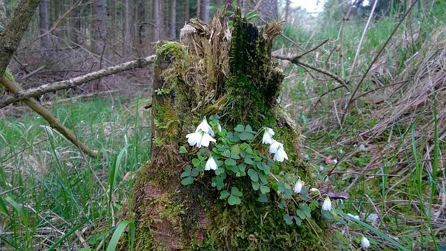 Wood Anemone, Tree Stump, Morsch, Moss, Forest, Flower