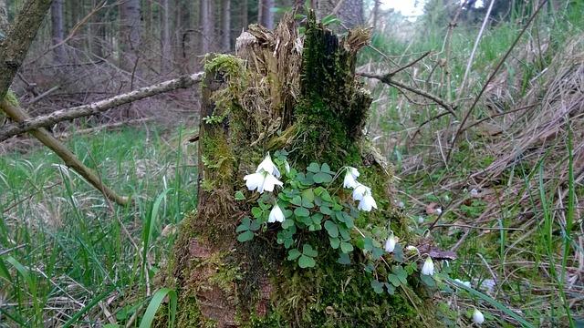 Wood Anemone, Tree Stump, Morsch, Moss, Forest, Flower