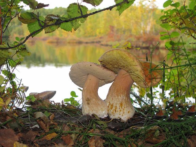 White Mushrooms, Brothers, Moss, Forest, Autumn