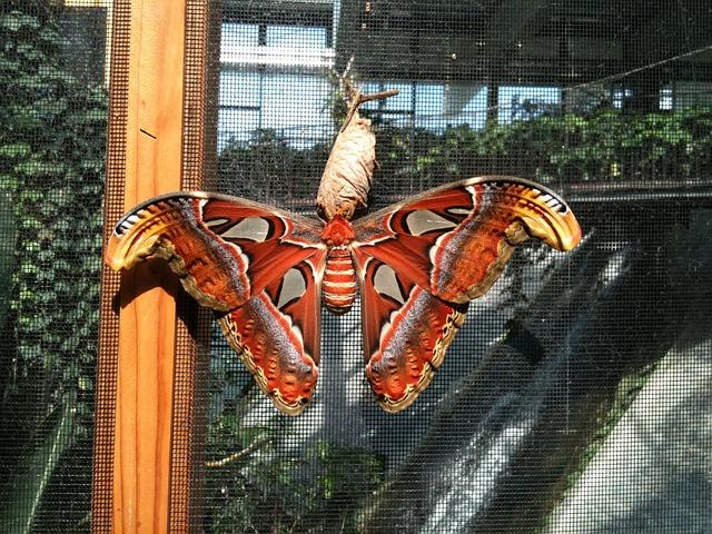 Butterfly, Atlas Moth, Attacus Atlas, Moth