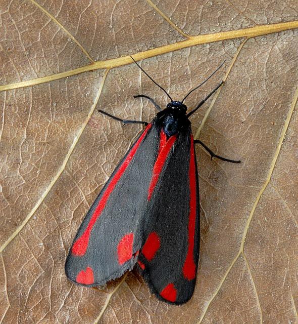 Moth, Cinnabar, Red, Black, Pattern, Insect, Summer, Uk