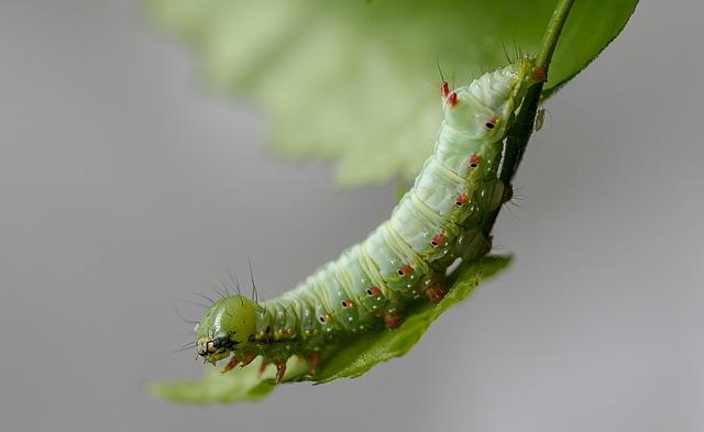 Caterpillar, Larva, Moth, Coxcomb-prominent, Insect