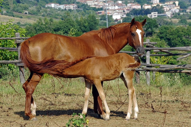 Mare, Mother, Foal, Lactation, Animal, Horse, Baio