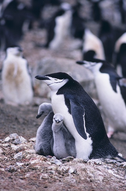 Chinstrap Penguin, Penguins, Mother, Chicks, Nature