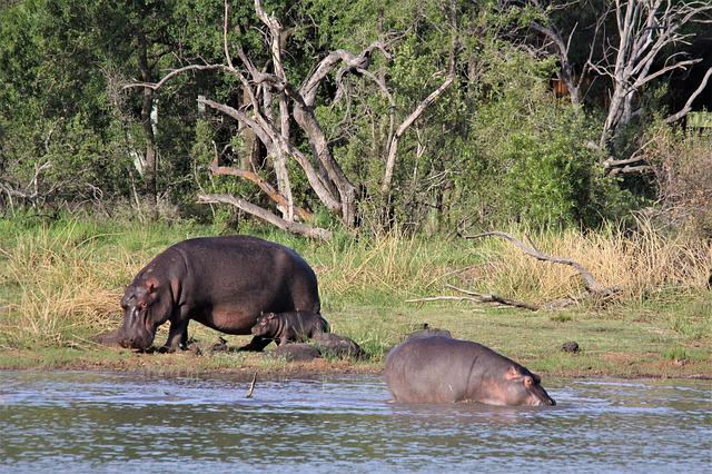 Hippopotamus, Hippo, Mother, Babies, Young, Children