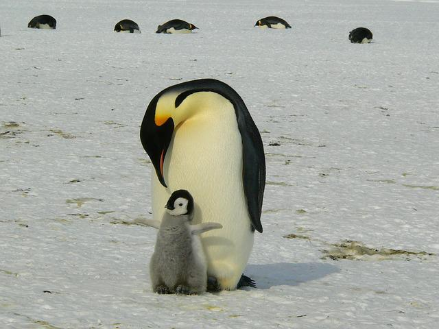 Penguins, Emperor Penguins, Baby, Mother, Parent