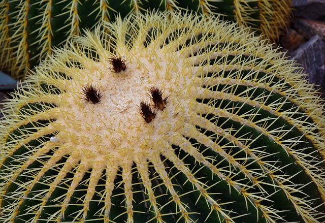 Cactus, Prickly, Spur, Mother In Law Chair, Sting