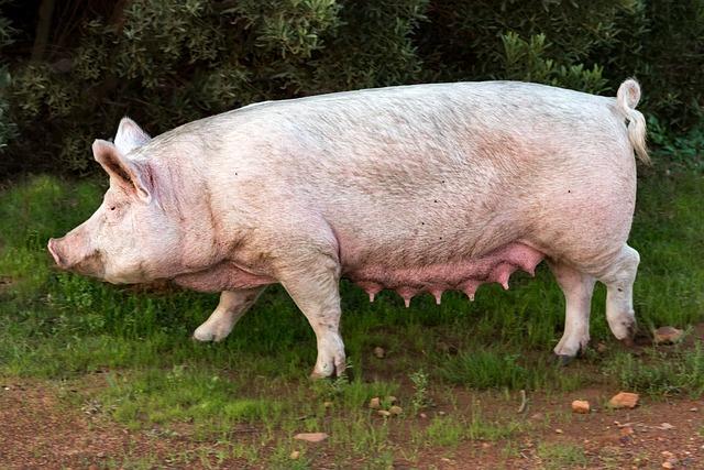 Pig, Sow, Pork, Swine, Animal, Farm, Mammal, Mother