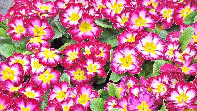Primula, Spring, Spring Flower, Motley