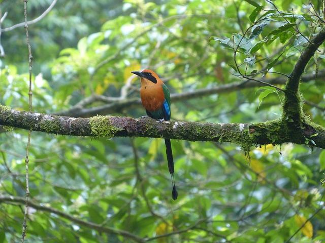 Blauscheitelmotmot, Bird, Momotus Momota, Motmot