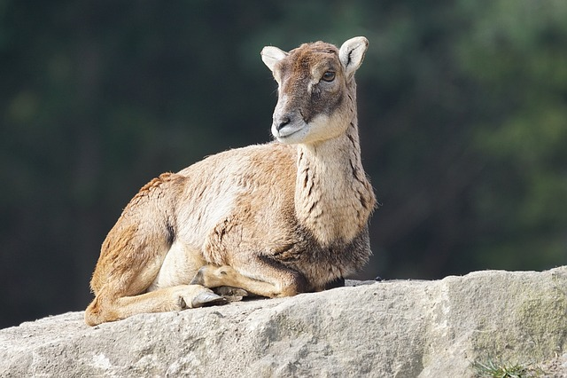 Mouflon, Female, Sheep, European Mouflon