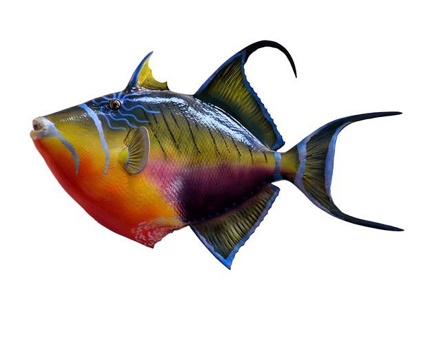Colorful, Trigger Fish, Fish, Taxidermy, Mount, Marine