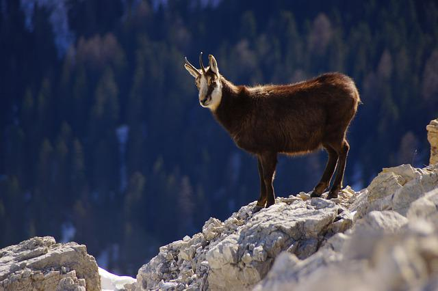 Chamois, Dolomites, Mountain, Animal, Alps, Horns