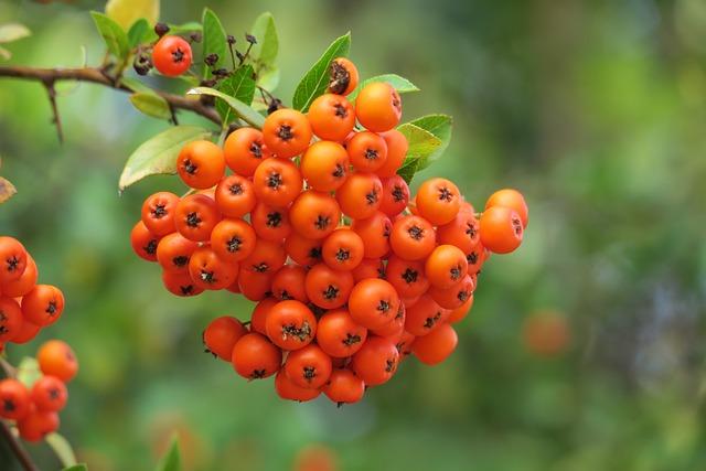 Rowan, Orange, Mountain Ash, Choke Berry, Rubber