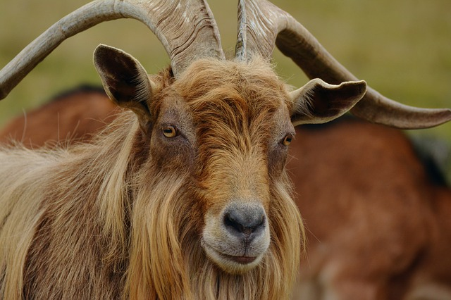 Billy Goat, Mountain Goat, Goat, Fur, Horns, Brown