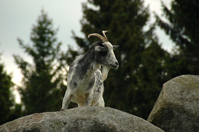 Rock, Stones, Mountain Goat, Nature, Forest, Kästehaus