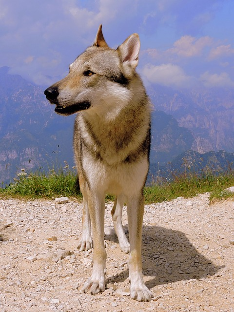 Dog, Look, Mountain, Wolf, Landscape