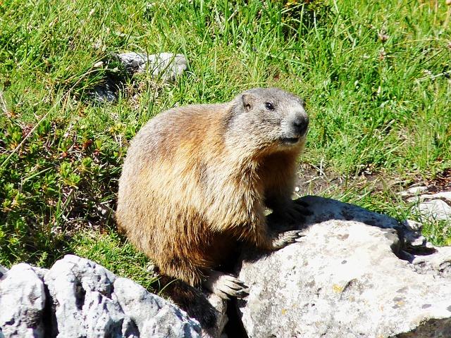 Marmot, Dachstein, Mountain Meadow