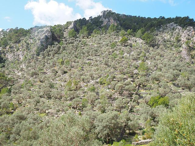 Olive Grove, Mountainside, Mountain, Olive Trees