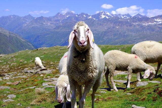 Animals, Sheep, Nature, Mountain Sheep, Mountain Summit