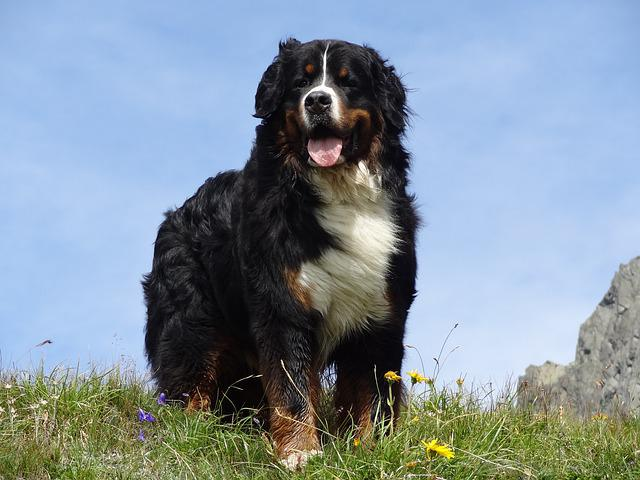 Bernese Mountain Dog, Animal Picture, Dog, Mountains