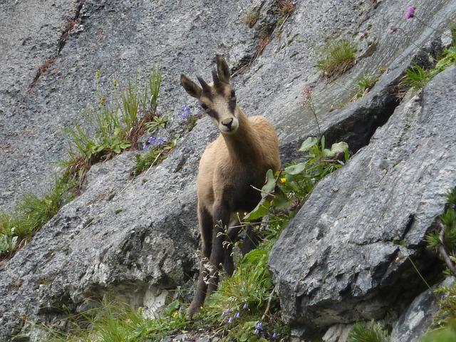 Chamois, Mountains, Alpine, Wild Animal, Gams