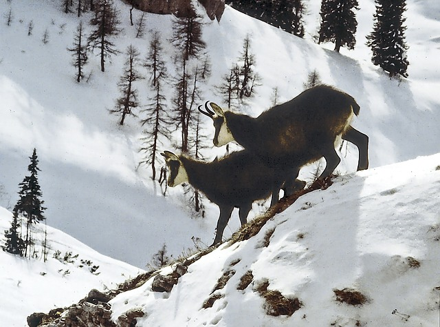 Animals, Alpine Animals, Chamois, Gams, Mountains