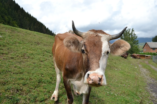 Cow, Mountains, The Carpathians, Ukraine, Grass
