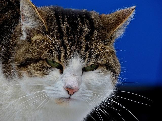 Cat, Grumpy, Mood, Bad, Portrait, Face, Moustache