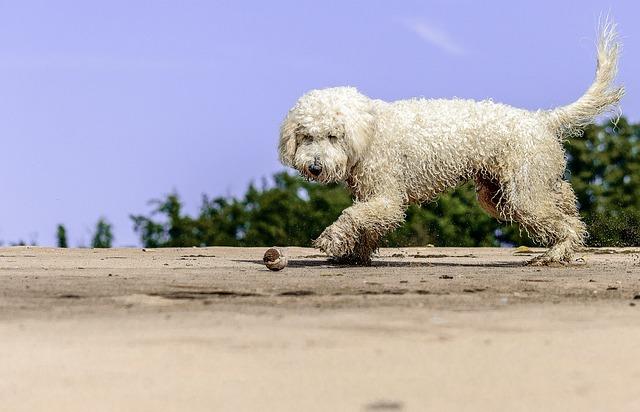 Golden Doodle, Play, Beach, Fun, Dog, Movement, Fur
