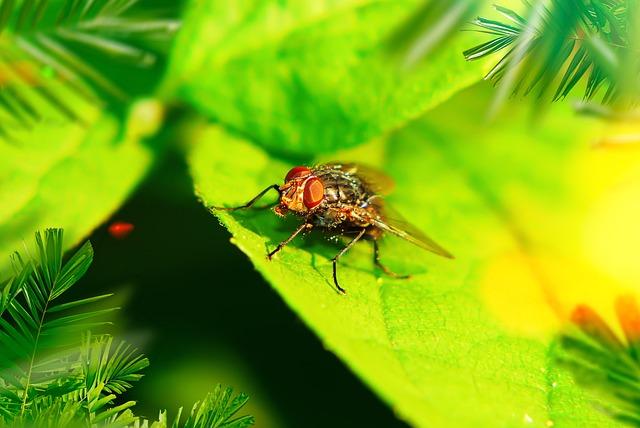 ścierwica Mięsówka, Muchówka, Insect, Antennae, Eyes