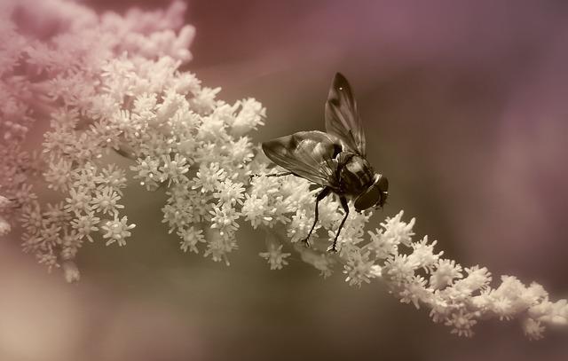 Trzmielówka Forest, Muchówki, Insect, Flower, Apiformes