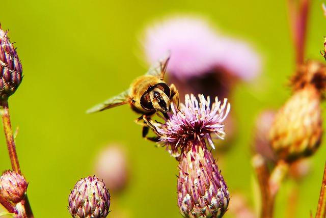 Apostate Resistant, Muchówki, Flowers, Thistle