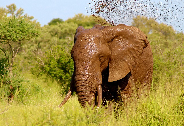 Elephant, Wild, Animal, Mud, Spray, Water, Nature