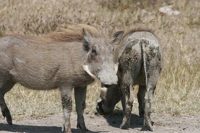 Warthog, Muddy, Mammal, Nature, Animal, Wildlife