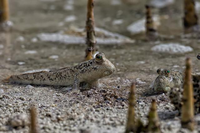 Fish, Mudskippers, The Roots Of The Mangrove Trees
