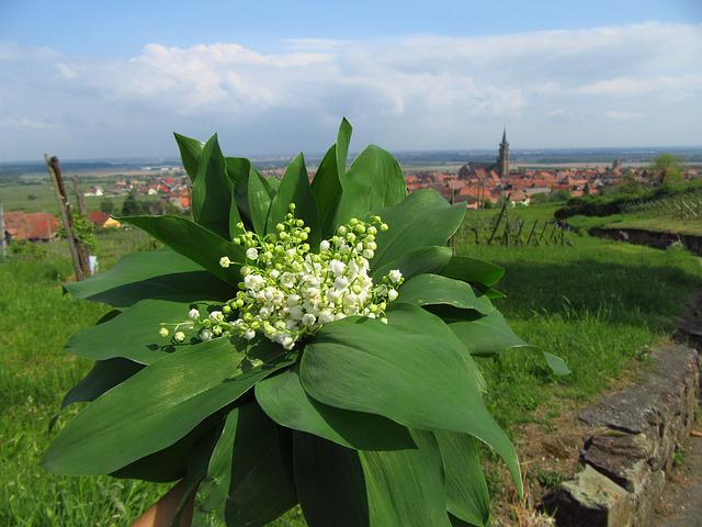 Lily Of The Valley, Flowers, Muget, Spring, Landscape