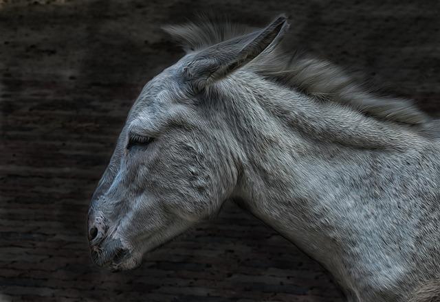 Donkey, Mule, Animal, Livestock, Head