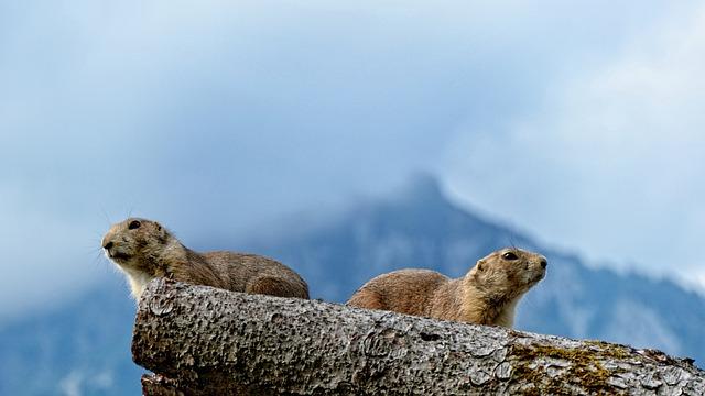 Marmot, Gophers, Marmota, Munggen, Mankei, Marble
