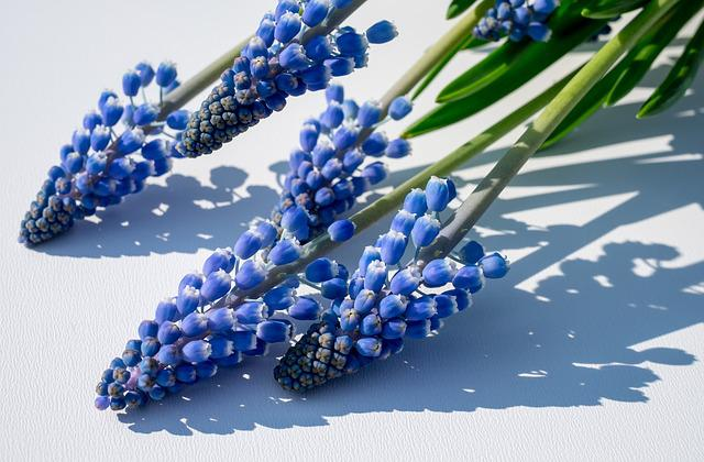 Muscari, Muscari Armeniacum, Blossom, Bloom, Flower