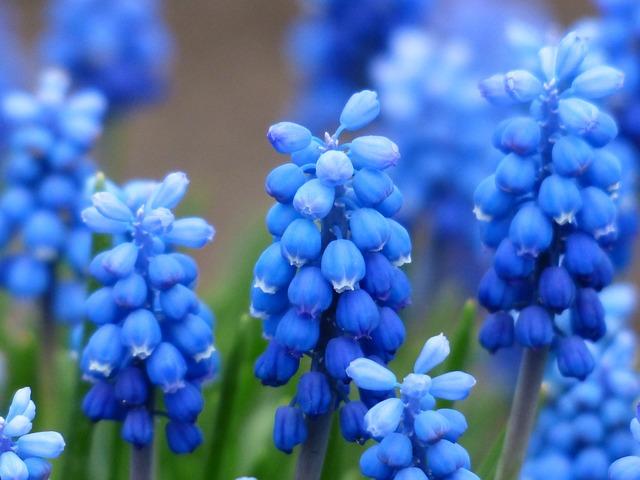 Muscari, Common Grape Hyacinth, Blossom, Bloom, Flower