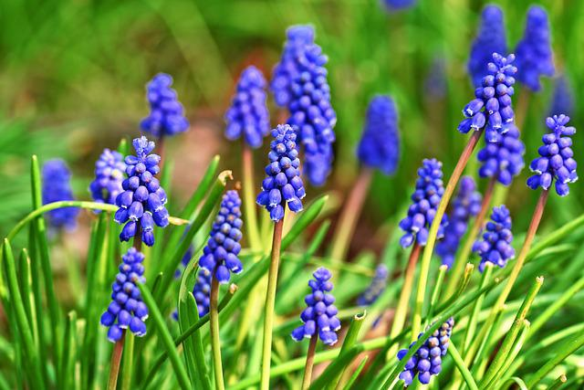 Muscari, Graph Hyacinth, Flower, Plant, Bulbous