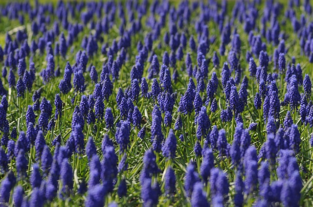 Muscari, Field, Flower, Blue, Nature, Spring